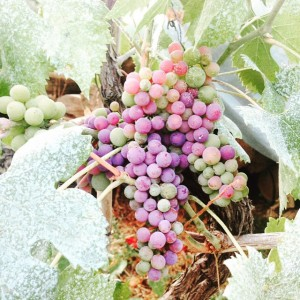 Grapes are growing well here in Tuscany tuscanvillagelife tuscanyvillages ilovetuscanyhellip
