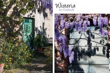 Wisteria in Collodi, Tuscany